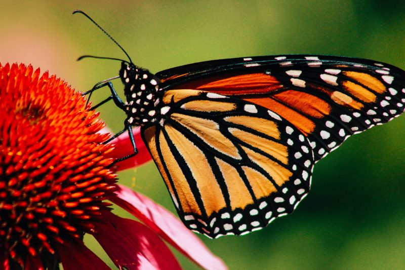 Butterfly with stained glass like wings in black and orange sitting on many-petaled red flower.