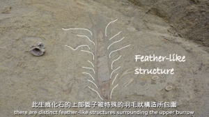 A burrow-like structure in rock, with featherlike markings annotated.