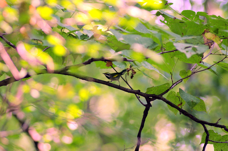 Tiny bird in the distance perched on a twig amid leafy branches.