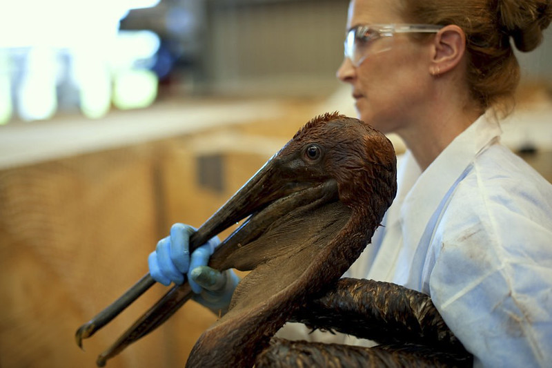 Large, long-beaked bird covered in oil being held by a white-coated woman.
