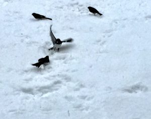 A small black and white bird with wings spread threatens a bird crouching in snow.