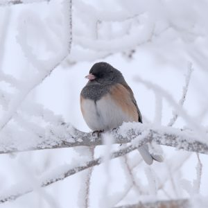 Small bird with dark head and back, light underside, perched on a bare twig in snow.