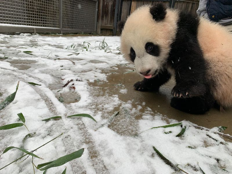 Panda cub on pavement at the end of a snowy area.