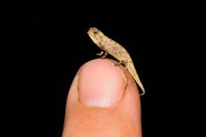 Tiny chameleon perched on a fingertip.