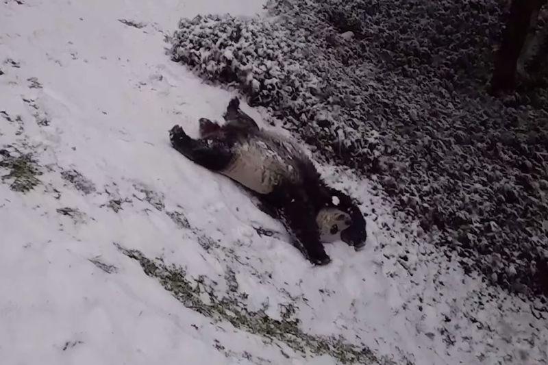Panda sliding down a snowy hill on its back.