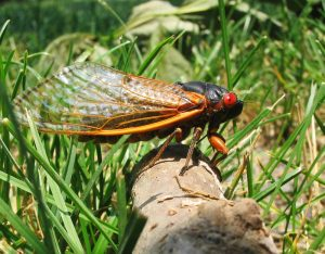 Shiny black bug with long clear wings and big red eyes.