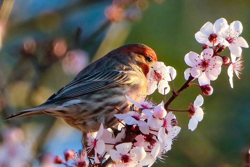 Small red-headed bird sitting on a twig with many 5-petaled pink flowers with prominent stamens.