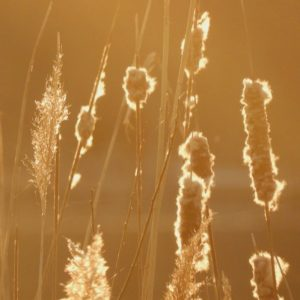Cattails and reeds backlit with a golden glow.