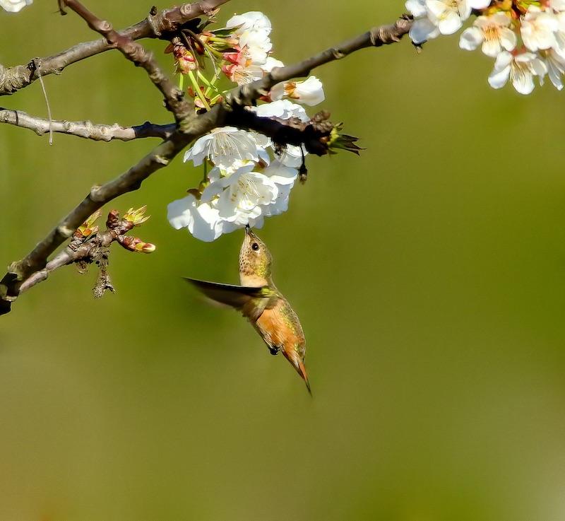 Hummingbird in midair, its beak in one of many delicate 5-petaled white flowers on twigs.