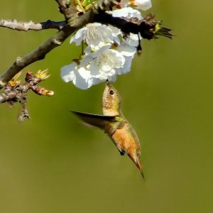 Square image with green background with a hummingbird in the centre, feeding off of white flowers on twigs.