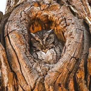 An owl sitting in the opening of a tree, blending in with the same brown-beige color as the surrounding bark.