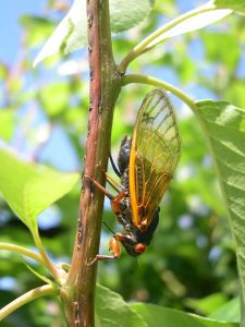 Large clear-winged insect facing downward on a branch.