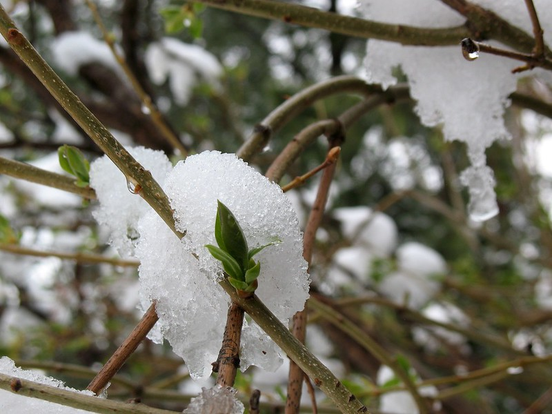 Closeup of blobs of icy snow on budding plant.