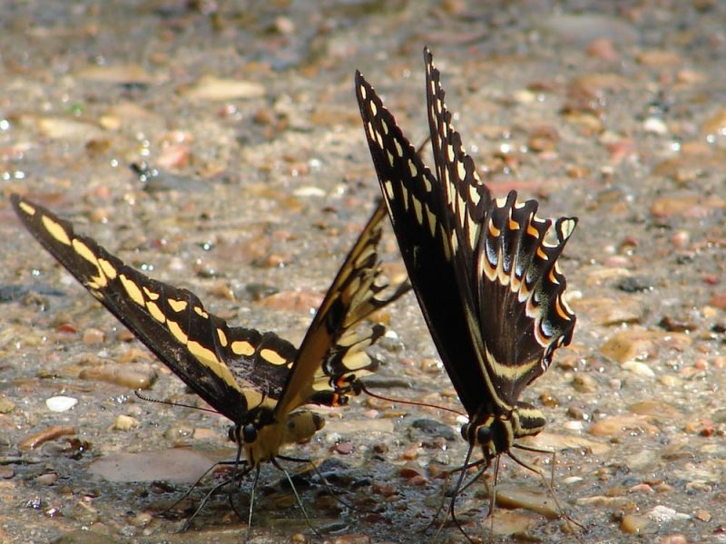 Two brown butterflies with orange and yellow spots standing with wings aloft on wet pebbly surface.