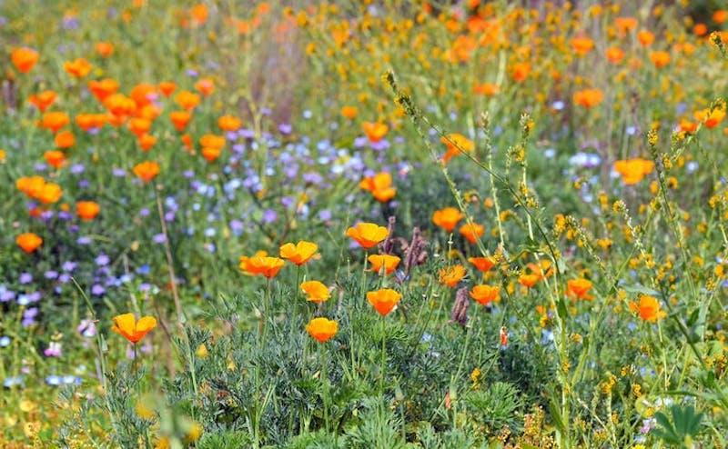 A field of cup-like orange flowers on long stems among shorter light blue flowers.