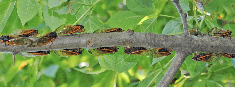 Middle-sized gray tree branch with 15 closely spaced cicadas against green leafy background.