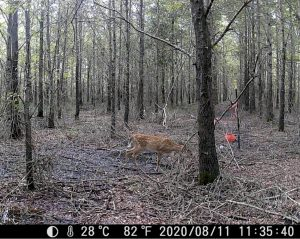 A deer in a leafless forest.