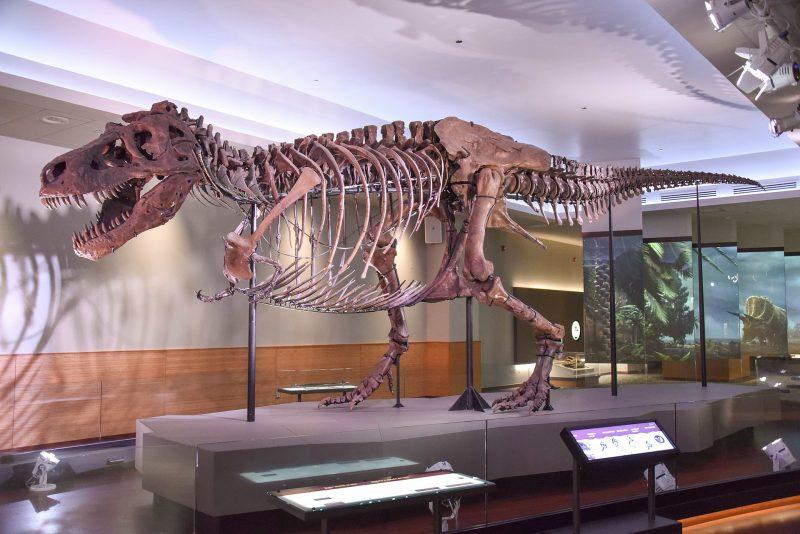 A skeleton of T. rex.