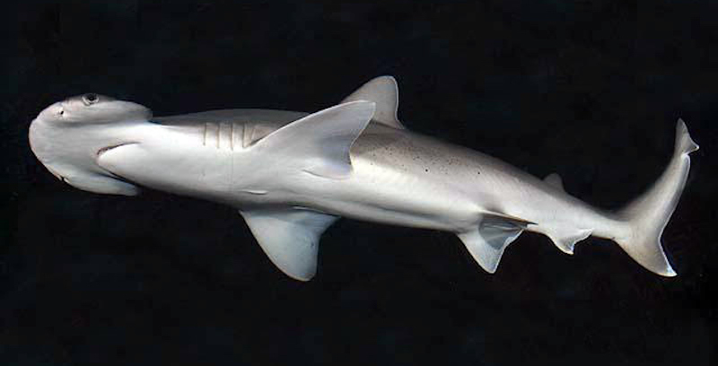A shark with a big round head seen from below against a black background.
