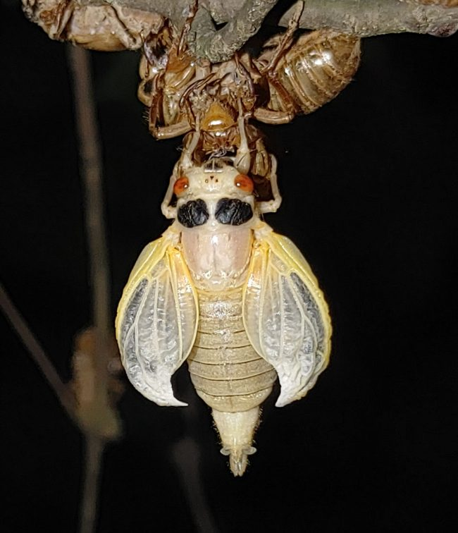 Cicada with curved white wings hangs from shell.