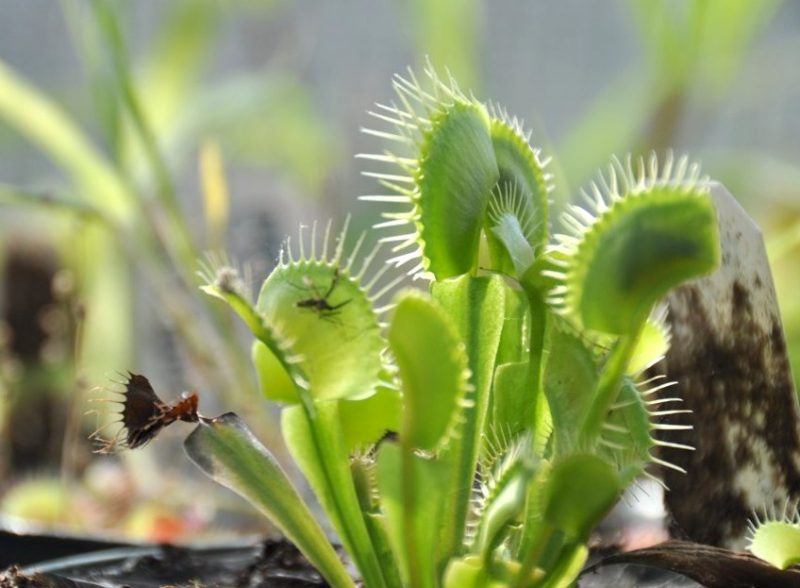 Venus flytrap with closed leaves. An insect is visible as a silhouette in one. One withered leaf.