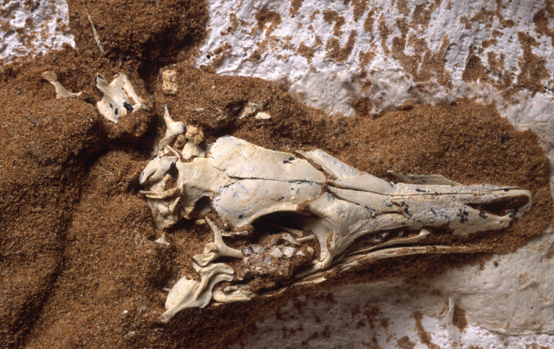 Bird-like skull surrounded by dirt.