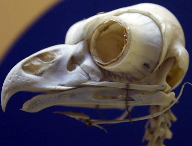 Bird skull with huge eye sockets.