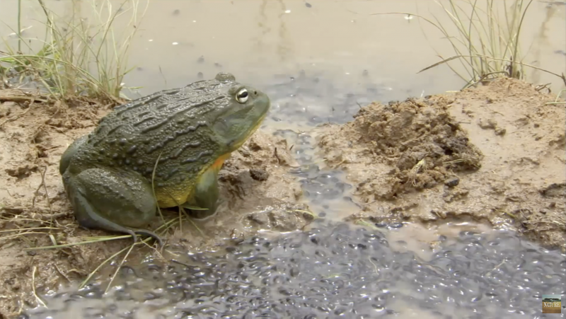 Bullfrog protects tadpoles, watches them swim in a channel he's dug between a puddle and a pool.