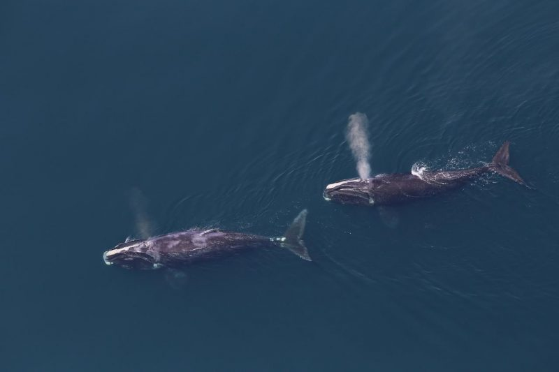 Aerial view of two North Atlantic right whales blowing from their blowholes as they swim through blue water.