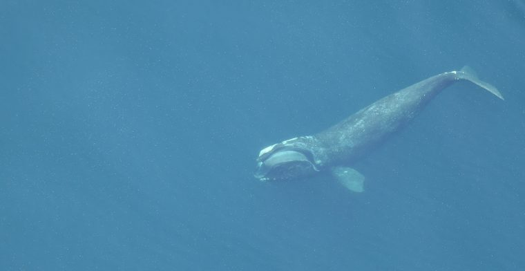 Undersea view: solid blue with large whale diving down.