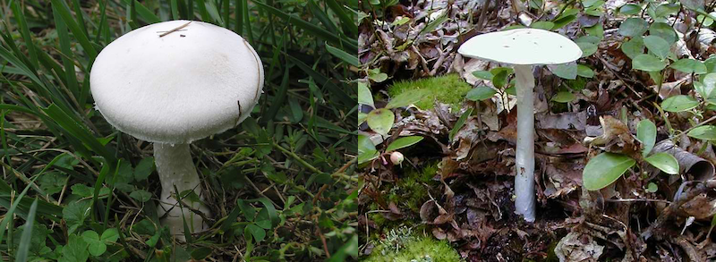 Side-by-side photos of two nearly identical white mushrooms with button-like caps and thin stalks.