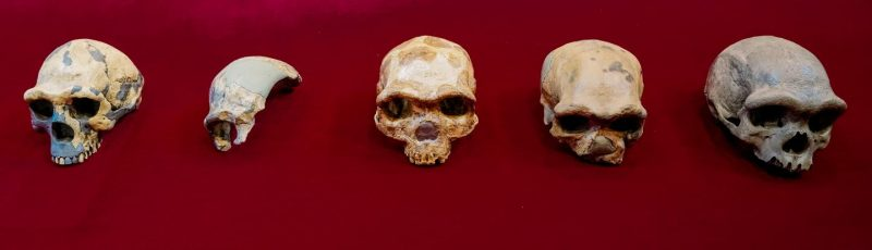Line of five beetle-browed skulls on red background.