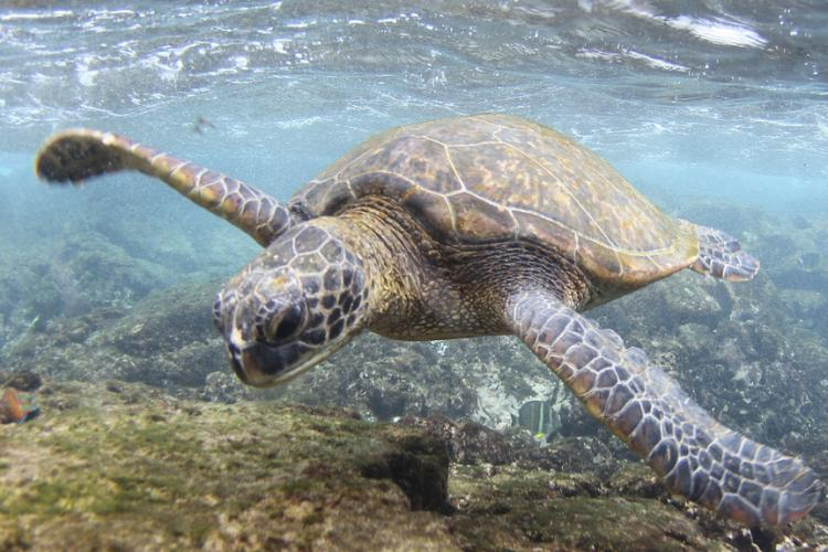 Spotted sea turtle swimming underwater.