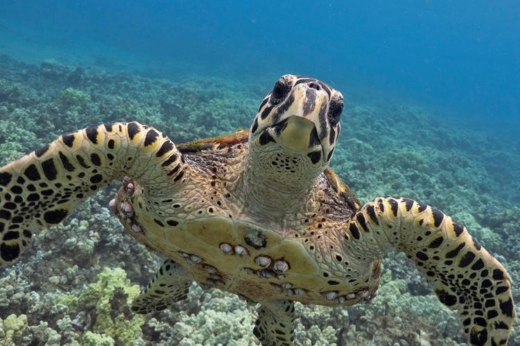 Front view of a striped sea turtle underwater.
