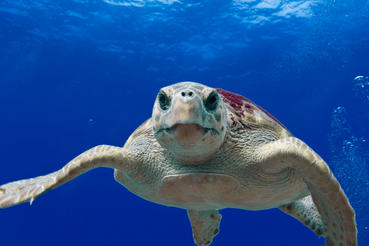 Turtle swimming straight toward camera in blue water.