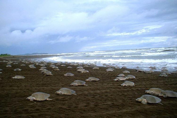 Lots of sea turtles on a dark beach with sea in background.