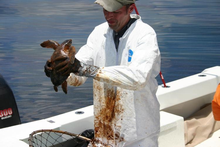 A person on a boat holding a sea turtle covered in oil.