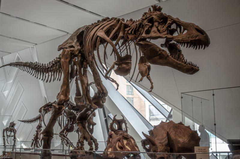 Dinosaur bones of T-rex in lifelike position in a museum.