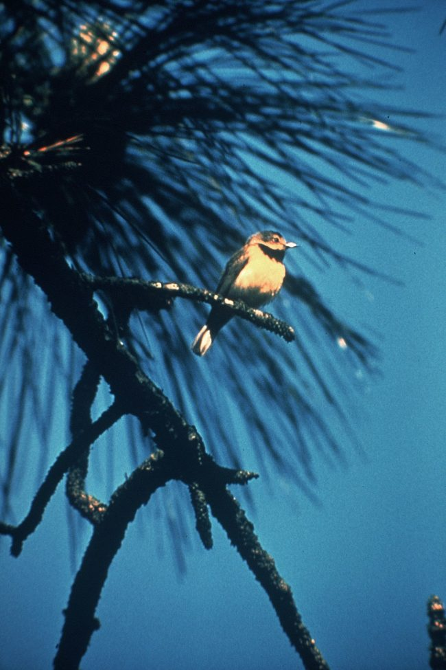A small dark bird with yellow breast, neck and tail perched in a pine tree.