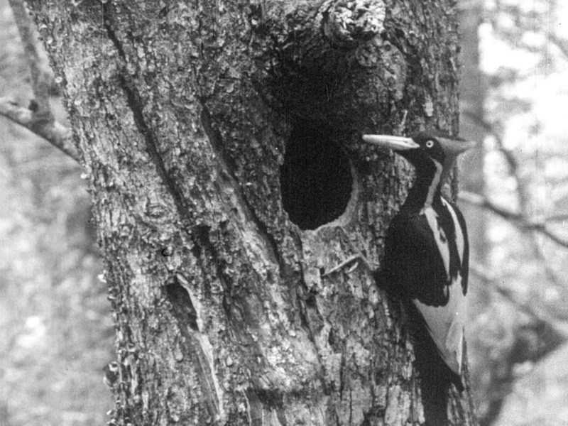 23 species proposed for delisting: Large bird with a crest and impressive beak, perched upright at a hole in a tree.